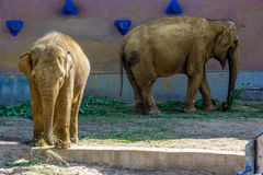 Elephants, Moscow Zoo, Russia Royalty Free Stock Photography