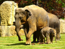 Elephants - mother, baby and auntie Stock Photo