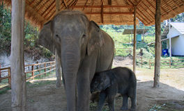 Elephants - mother and calf Stock Images