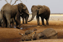Elephants mourning their dead. Dead African elephant died in a waterhole during the drought, elephants paying their respects, mourning the dead whilst hyenas Royalty Free Stock Photography
