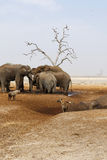 Elephants mourning their dead. African elephant died in a waterhole during the drought, elephants paying their respects, mourning the dead whilst hyenas feed Royalty Free Stock Image