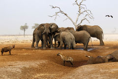 Elephants mourning their dead. African elephant died in a waterhole during the drought, elephants paying their respects, mourning the dead whilst hyenas feed Royalty Free Stock Photos