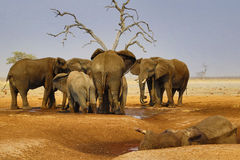 Elephants mourning their dead. African elephant died in a waterhole during the drought, elephants paying their respects, mourning the dead whilst hyenas feed Stock Photography