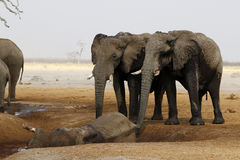 Elephants mourning their dead. Dead African elephant died in a waterhole during the drought, two elephants paying their respects, mourning the dead Stock Photo