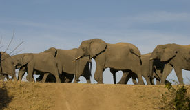 Elephants on the move Stock Images