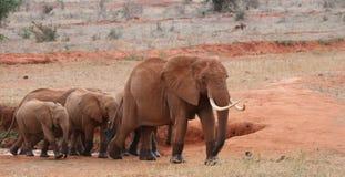 Elephants on the move Stock Image