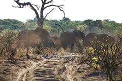 Elephants moving dirt road Bwabwata National Park, Namibia Royalty Free Stock Photo