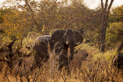 Elephants moving dirt road Bwabwata National Park, Namibia Royalty Free Stock Photography