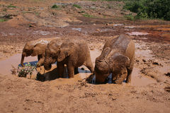 Elephants in Mud Bath. Baby Elephants at the David Sheldrick WIldlife Trust in Nairobi, Kenya Stock Image