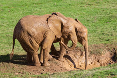 Elephants in the mud Royalty Free Stock Image