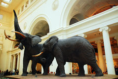 Elephants at the Museum Royalty Free Stock Photos