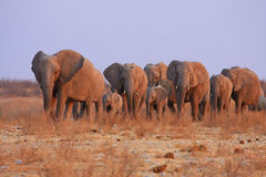 Elephants in Namibia. Horde of elefanphants in the Etosha National Park, Namibia stock photography