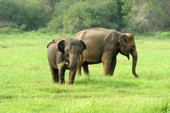 Elephants in National Park Royalty Free Stock Images