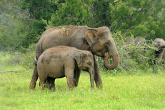 Elephants Royalty Free Stock Image