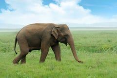 Elephants Royalty Free Stock Images