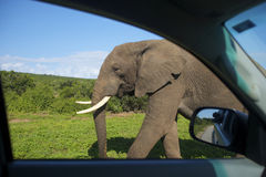 Elephants near car. An Elephant walking passed a car, Addo Elephant National Park Stock Photos