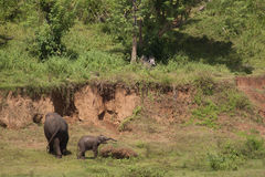Elephants near mud bank. Adult elephant and baby elephants playing near a red mud bank stock images