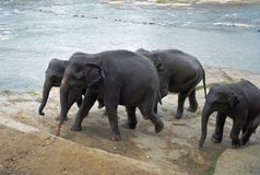 Elephants near river Stock Photography