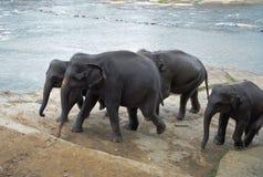 Elephants near river Stock Photography