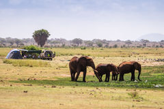 Elephants next to camping family, Kenya, Africa Stock Images