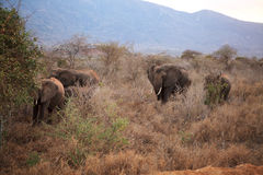 Elephants in Ngulia Rhino sanctuary Stock Photo