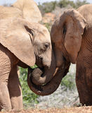 Elephants nuzzling Stock Photography