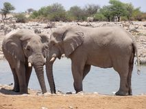 Elephants at oasis Royalty Free Stock Image