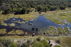 Elephants - Okavango Delta - Botswana. Aerial view of Elephants (Loxodonta africana) in the Okavango Delta in Botswana Royalty Free Stock Image