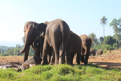 Elephants orphanage in Pinnawela, Sri Lanka. Royalty Free Stock Image