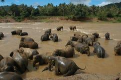 Elephants orphanage of Pinnewala Royalty Free Stock Images