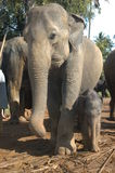 Elephants orphanage of Pinnewala Stock Photography