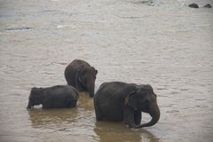 Elephants in an orphenage in Sri Lanka. Elephants at the Pinnawala Elephant orphenage near Kandy in Sri Lanka stock photography
