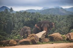 Elephants in an orphenage in Sri Lanka. Elephants at the Pinnawala Elephant orphenage near Kandy in Sri Lanka Stock Photo