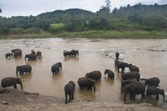 Elephants in an orphenage in Sri Lanka. Elephants at the Pinnawala Elephant orphenage near Kandy in Sri Lanka stock photography