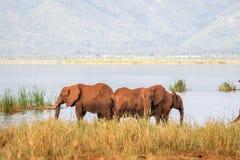 Elephants over Jipe Lake, Kenya Stock Image