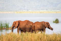 Elephants over Jipe Lake, Kenya Royalty Free Stock Photography