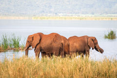 Elephants over Jipe Lake, Kenya Royalty Free Stock Image