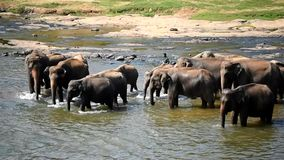 Elephants bathing in the river stock footage