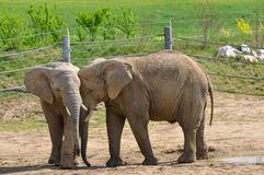 Elephants on the paddock Royalty Free Stock Photos