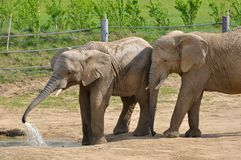 Elephants on the paddock Royalty Free Stock Photography