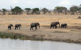Elephants Parading From The River Tom Wurl Stock Photography