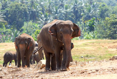 Elephants in park Royalty Free Stock Photography