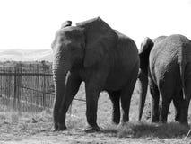 Elephants passing Royalty Free Stock Photo