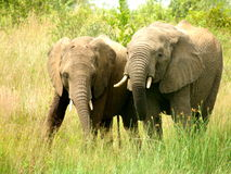 Southern african animals. Elephants at Pilanesberg National Park Royalty Free Stock Photography