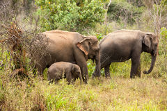Elephants of Pinnawala elephant orphanage bathing Stock Images