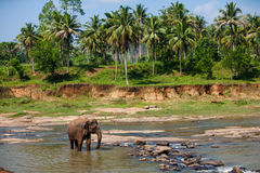 Elephants of Pinnawala elephant orphanage bathing Royalty Free Stock Photo