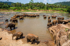Elephants of Pinnawala elephant orphanage bathing Royalty Free Stock Photos