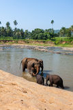 Elephants of Pinnawala elephant orphanage bathing in river Royalty Free Stock Photos