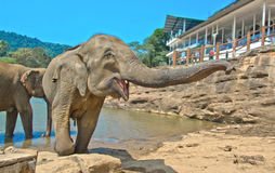 Elephants At Pinnawala Elephant Orphanage, Sri Lanka. Pinnawala Elephant Orphanage is an orphanage, nursery and captive breeding ground for wild Asian elephants Stock Image