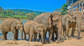Elephants At Pinnawala Elephant Orphanage, Sri Lanka. Pinnawala Elephant Orphanage is an orphanage, nursery and captive breeding ground for wild Asian elephants Stock Images